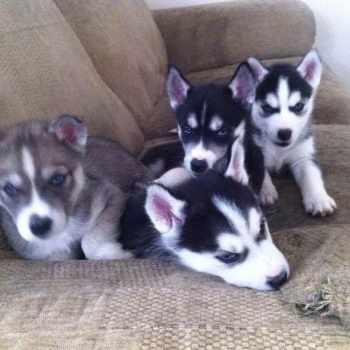 Blue Siberian Husky Puppies For Sale