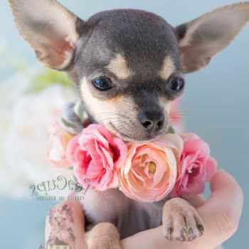 Blue Teacup Chihuahua