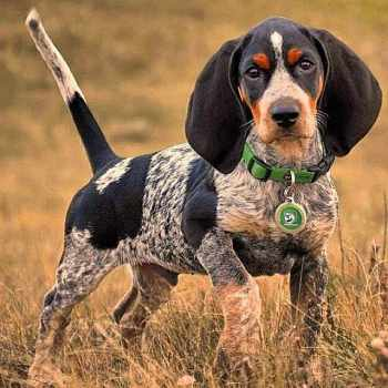 Blue Tick Beagle Puppies For Sale Near Me