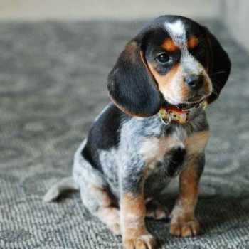 Blue Tick Beagle Puppy