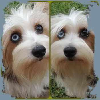 Blue Yorkie Terrier