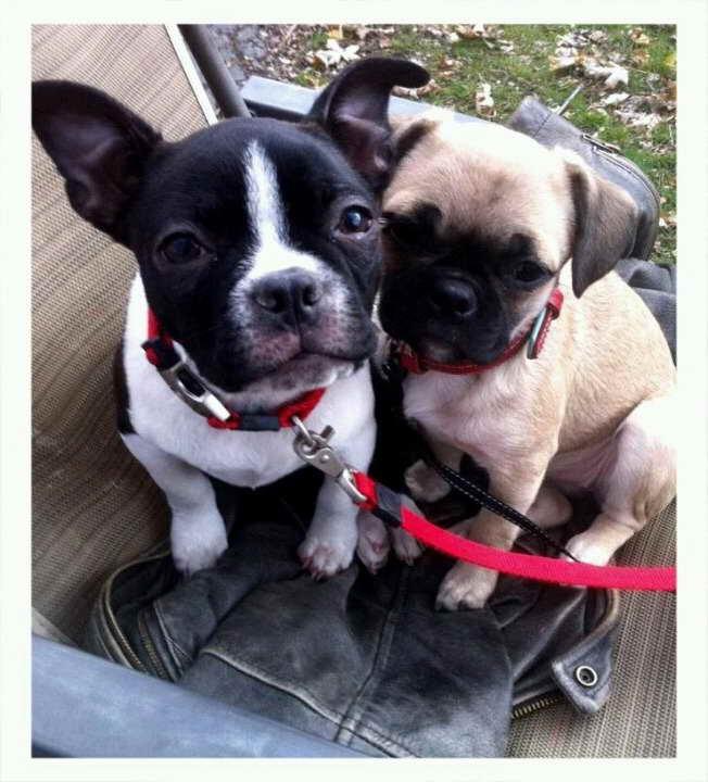 Boston Bull Terrier Puppies