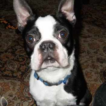 Boston Terrier Adoption