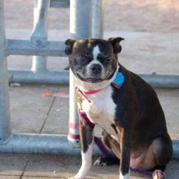 Boston Terrier Austin Tx