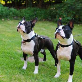 Boston Terrier Average Price