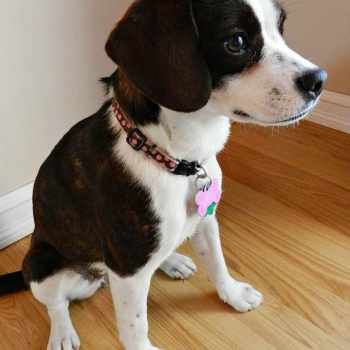 Boston Terrier Beagle Mix For Sale