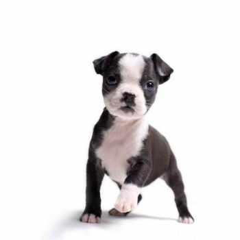 Boston Terrier Breeder Illinois