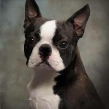 Boston Terrier Breeder Ma