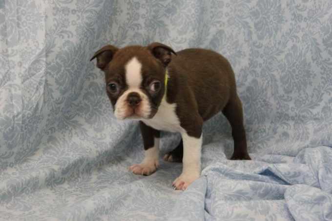 Boston Terrier Breeder Nj