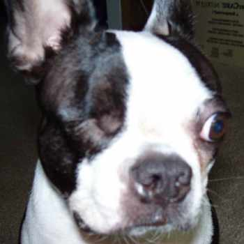 Boston Terrier Breeder Wisconsin