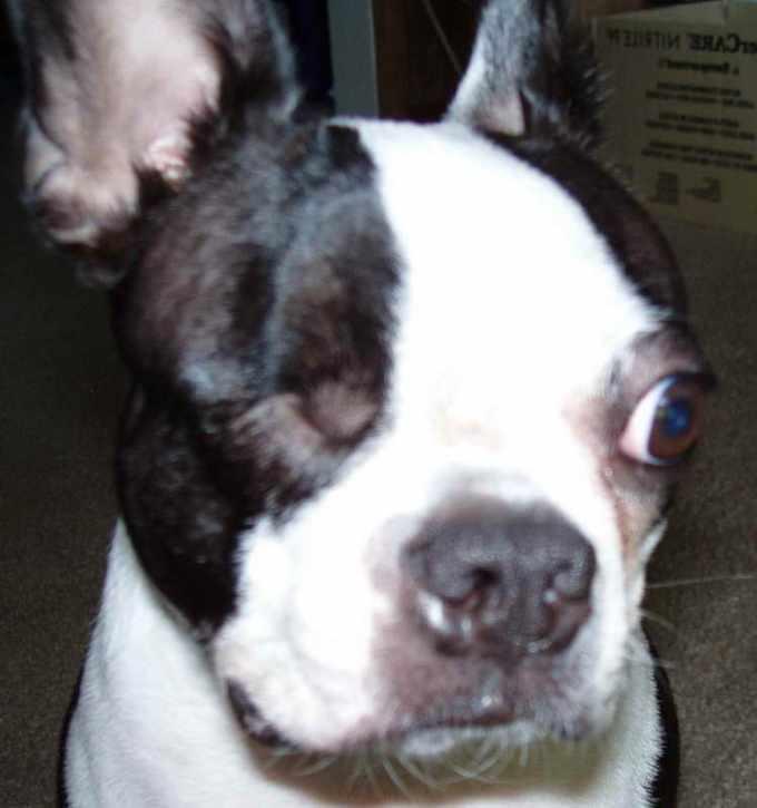 Boston Terrier Breeder Wisconsin