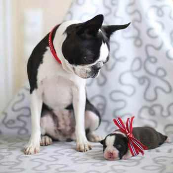 Boston Terrier Breeders Chicago