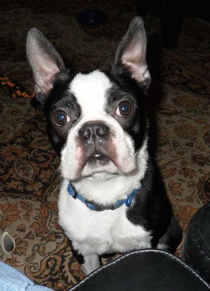 Boston Terrier Breeders Ga