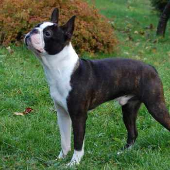 Boston Terrier Brindle For Sale