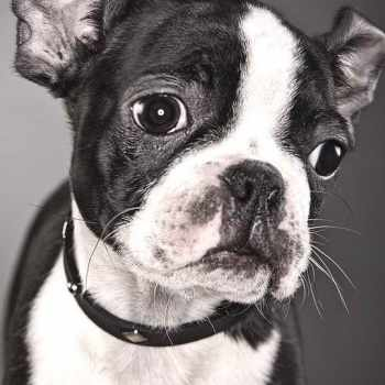Boston Terrier Bulldogs
