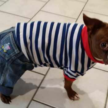 Boston Terrier Clothing For Dog
