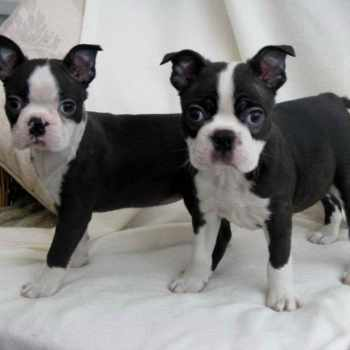 Boston Terrier Dallas Tx