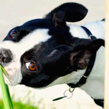Boston Terrier Diarrhea Treatment