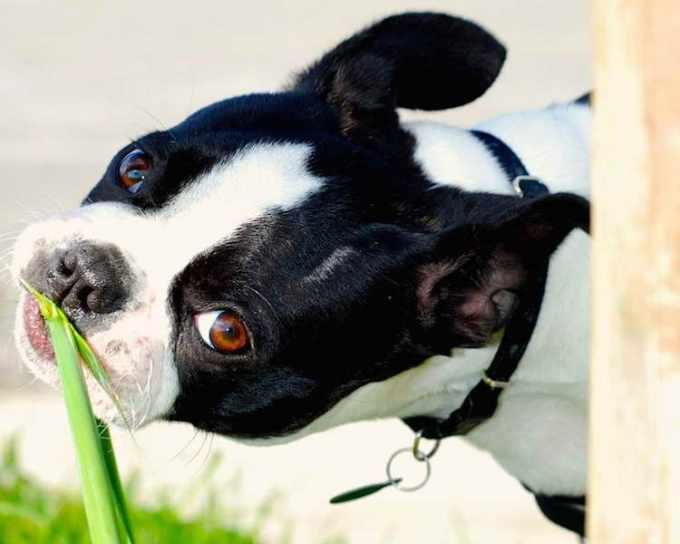 Boston Terrier Diarrhea Treatment