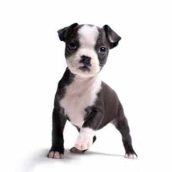 Boston Terrier Dogs