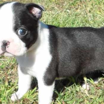 Boston Terrier Female For Sale