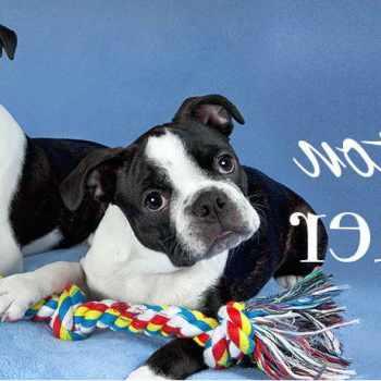 Boston Terrier For Sale In Miami