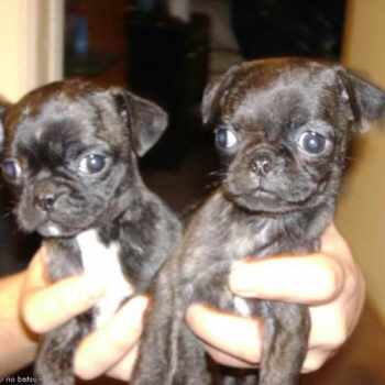 Boston Terrier For Sale In Oklahoma