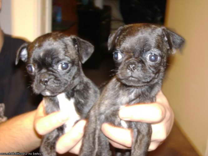 Boston Terrier For Sale In Oklahoma