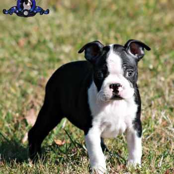 Boston Terrier For Sale In Sc