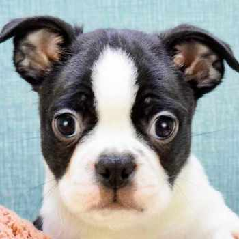 Boston Terrier For Sale Ohio
