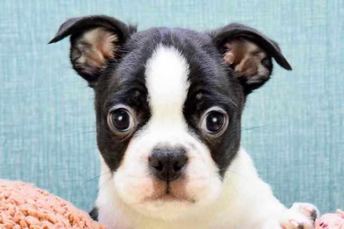 Boston Terrier For Sale Ohio