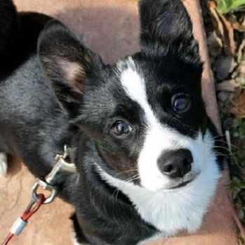 Boston Terrier Golden Retriever Mix