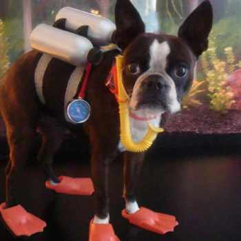 Boston Terrier Halloween