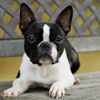 Boston Terrier Health
