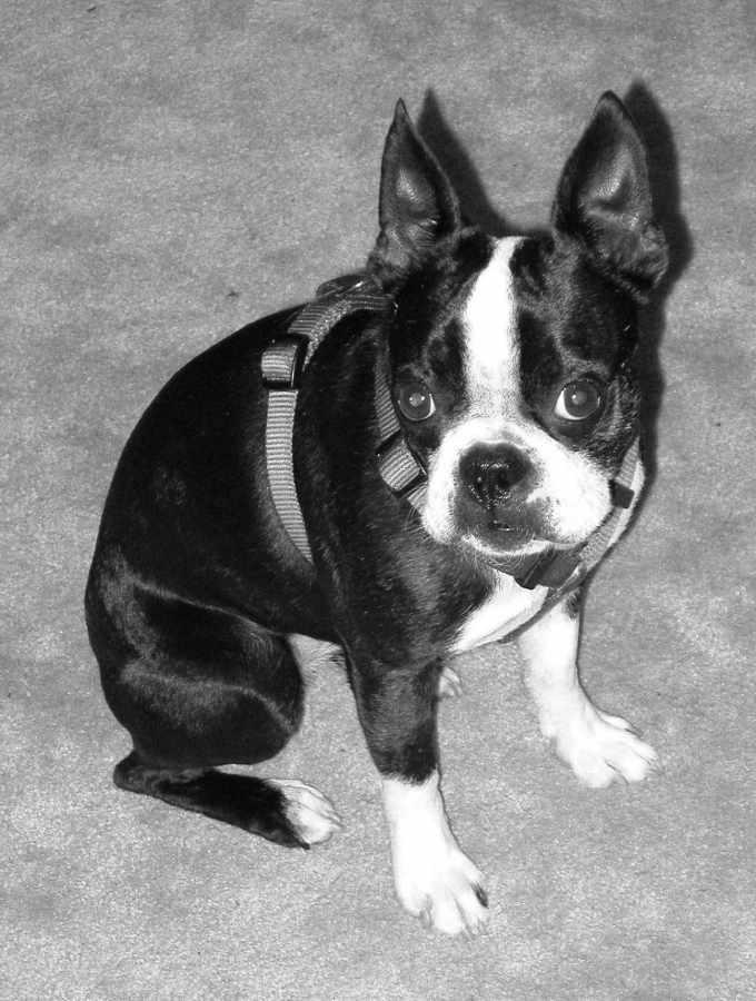 Boston Terrier Houston Tx