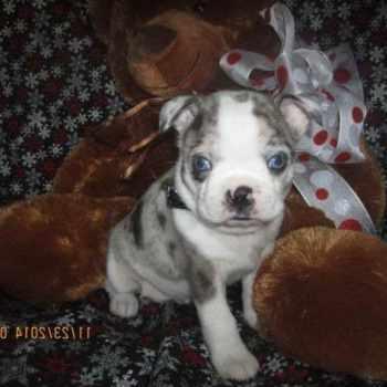 Boston Terrier Hybrid