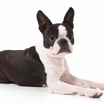 Boston Terrier Images