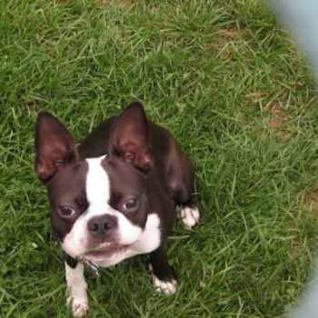 Boston Terrier Indiana