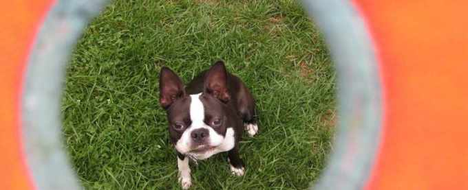 Boston Terrier Indiana