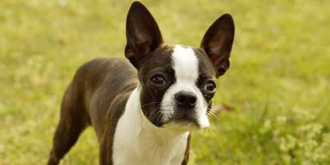 Boston Terrier Info