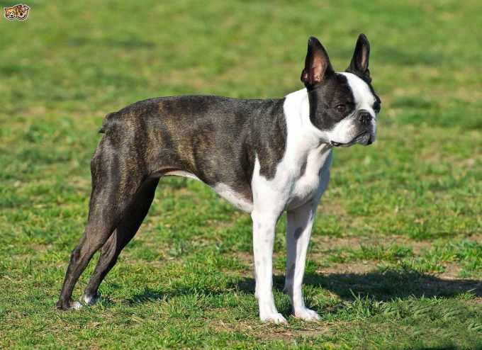 Boston Terrier Information