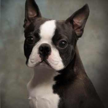 Boston Terrier Kansas