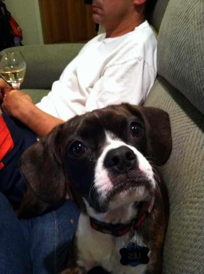 Boston Terrier King Charles Cavalier Mix