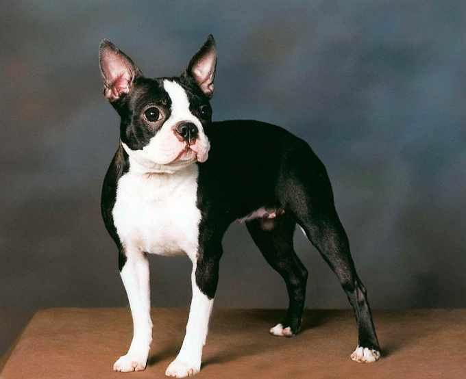 Boston Terrier Lifespan