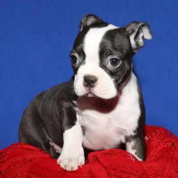 Boston Terrier Long Island
