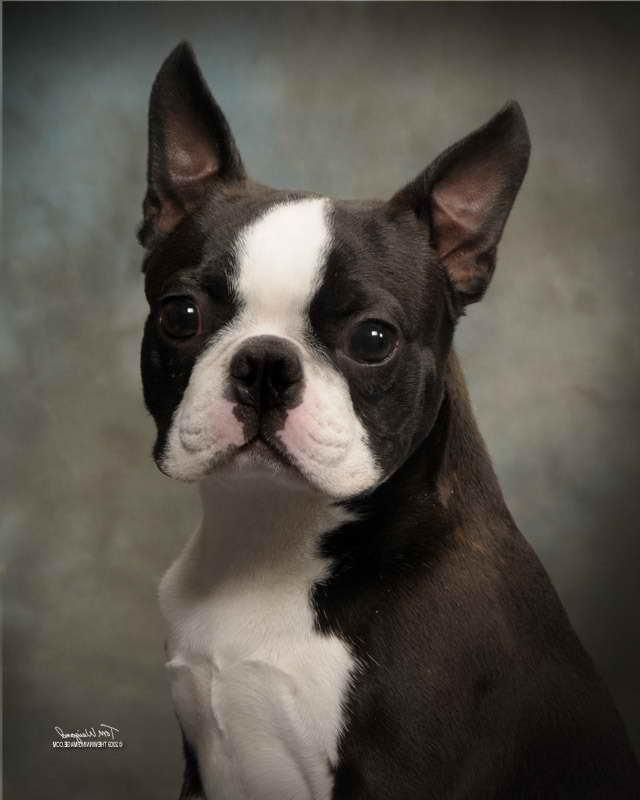 Boston Terrier Ma