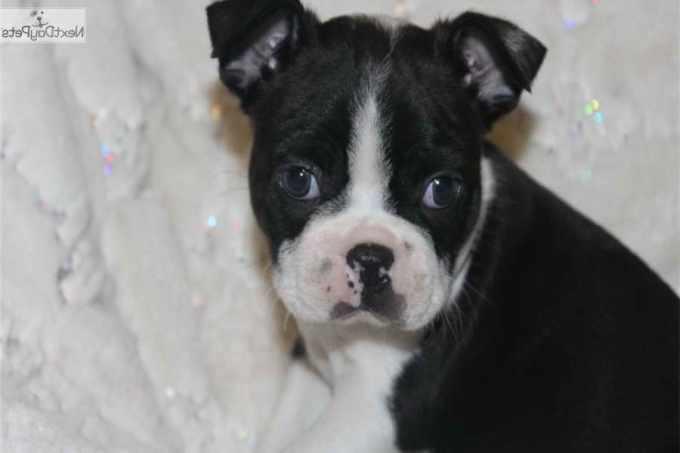 Boston Terrier Missouri