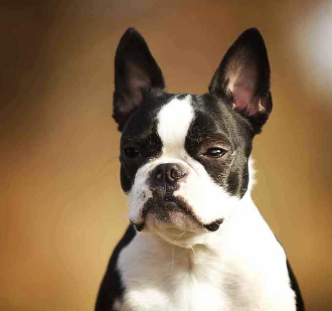 Boston Terrier Mix French Bulldog