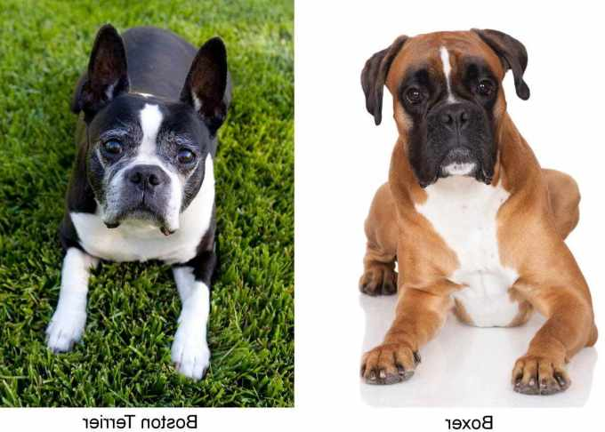 Boston Terrier Mix With Boxer