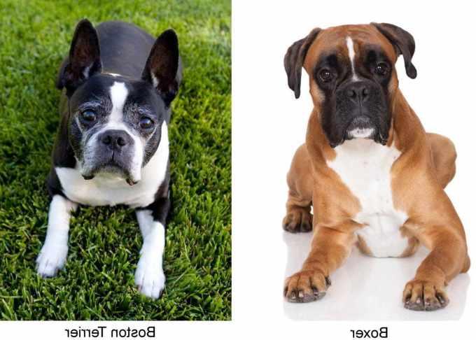 Boston Terrier Mixed With Boxer